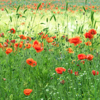 Poppies 1... by EternityRaven