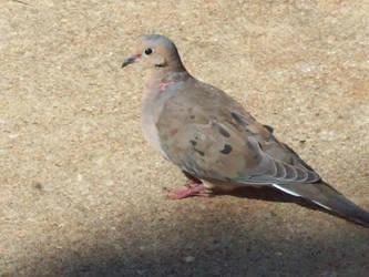 Pigeon 10 by SeraphanRaziel