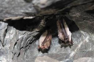 Myotis lucifugus - Little Brown Bats by topshelf81