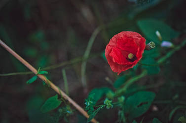 Poppy by daemonkarl