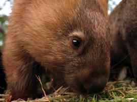 Wombat by Sharmos