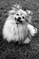 Pomeranian, Chloe girl by rOug3
