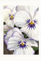 Pansies by littlesapphire