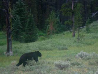 Yellowstone - Black Bear by X-ample