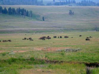 Yellowstone - Buffalo by X-ample