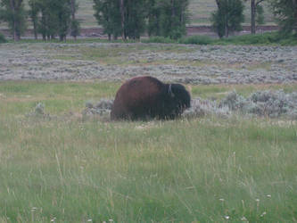 Yellowstone - Buffalo II by X-ample