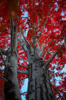 Red Maple by BradyLane