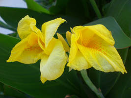 Yellow Orchid, Sarimsakli by balacicek