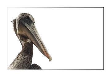 Pelicanio by QuoiQueCeSoit