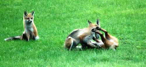 Playful Foxes by penragonwebsite