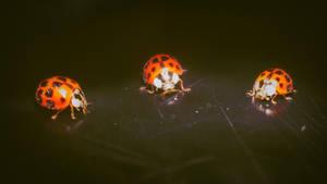 Ladybugs by Yughues