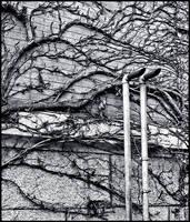 along the ivy wall we crawl by BlackScarletLove