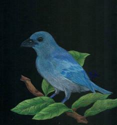 Blue-gray tanager (Thraupis episcopus) by Giu-sama