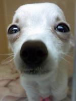Chihuahua puppy 2 by FoxFireMagic1706