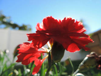 Red Carnation by DreamsWishesReality