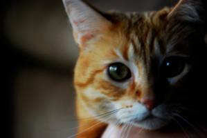 Orange Tabby Cat by RamosBurrito