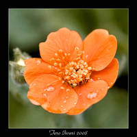 Geum coccineum by Heremod