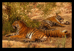 Tiger nap by citrina