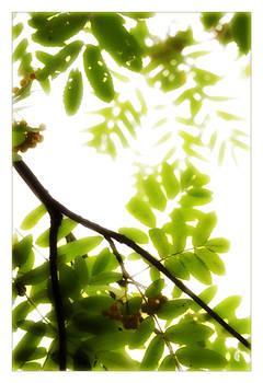 Rowan by citrina