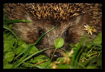 A Hedgehog by citrina