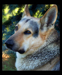 German Shepherd by citrina