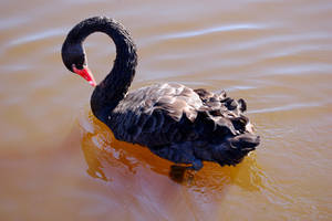 Black Swan by citrina