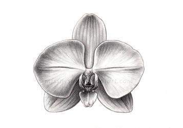Sci Illust. 3: Phalaenopsis sp by MissNysha