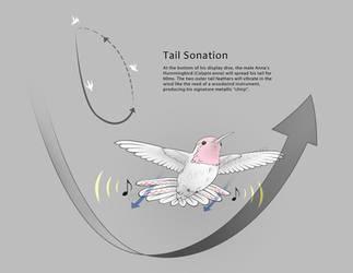 Anna's Hummingbird Tail Sonation by MissNysha