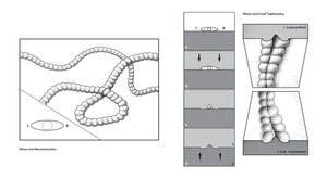 Plexus ricei Fossil Reconstruction by MissNysha