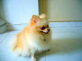 Pomeranian by Leonardeo