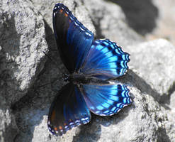Red-spotted Purple Butterfly by GramMoo