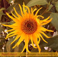 Sunflower by Sisterslaughter165