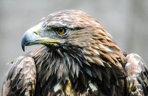 Golden Eagle by naomih91