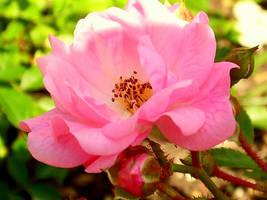 Rose by Bona299