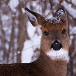 Snow Deer by rachapunk