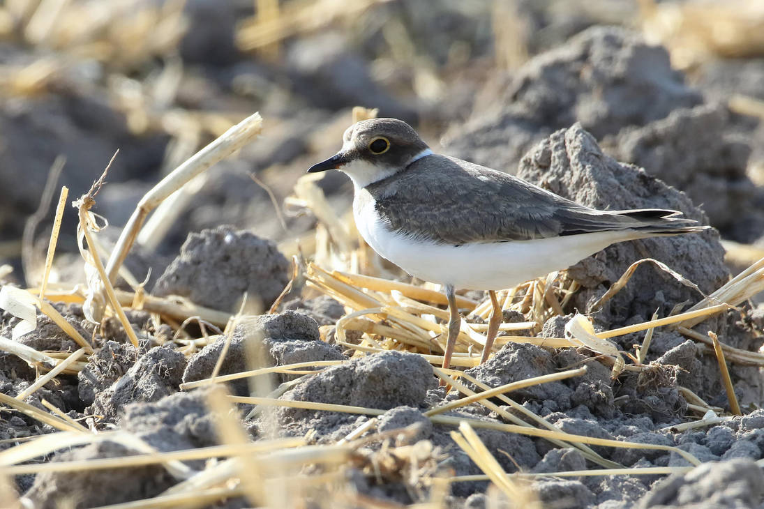 ...little ringed plover... by Ulliart