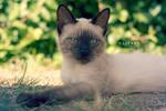 Siamy Kitty by Catlaxy