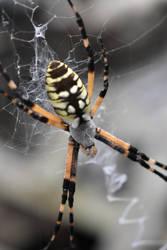 Garden Spider by baquar