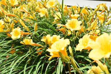 Yellow Flowers by baquar