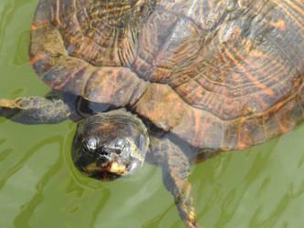 Turtle by baquar