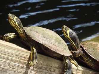Turtles by baquar