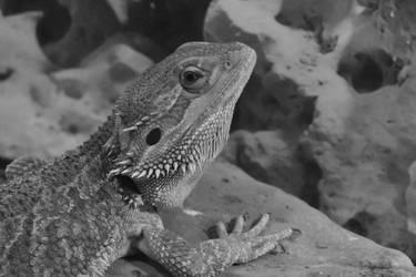 Bearded Dragon Winston by baquar