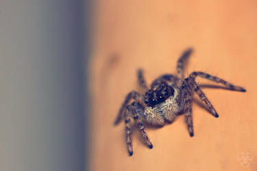 Jumping spider by Gordanj