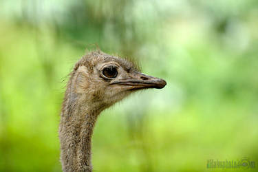 Another ostrich by ziadkadi