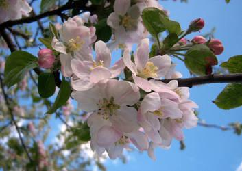 Apple blossoms by kalbimsenin