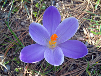 Purple crocus by kalbimsenin