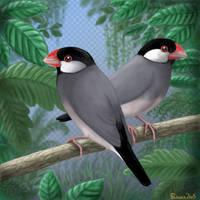 Java sparrows in aviary by Emberiza