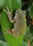 Gray Froggo Print by VorpalBeasta