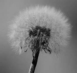dandelion by svww94