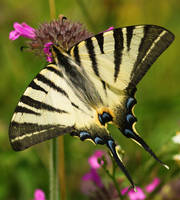 Scarce Swallowtail by theodoraevergreen